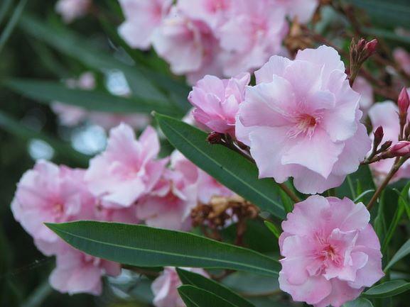 Олеандр: 5 хитростей для пышного цветения