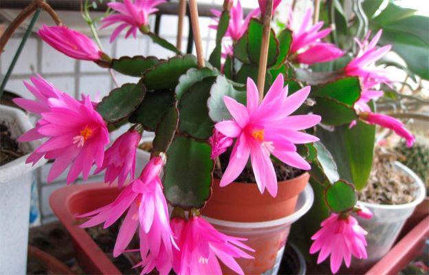 Такие разные кактусы: три лесных кактуса, которые можно выращивать дома